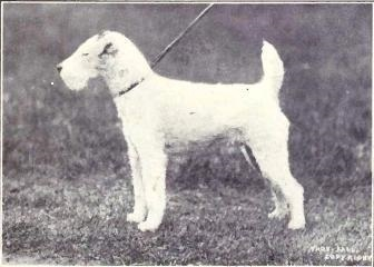 Wire fox terrier from 1915